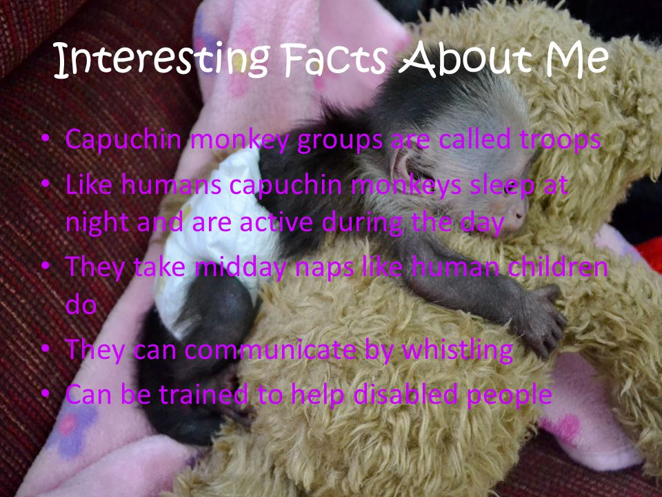 Interesting Facts About Me Capuchin monkey groups are called troops Like humans capuchin monkeys sleep at night and are active during the day They take midday naps like human children do They can communicate by whistling Can be trained to help disabled people