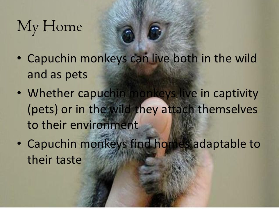 My Home Capuchin monkeys can live both in the wild and as pets Whether capuchin monkeys live in captivity (pets) or in the wild they attach themselves to their environment Capuchin monkeys find homes adaptable to their taste