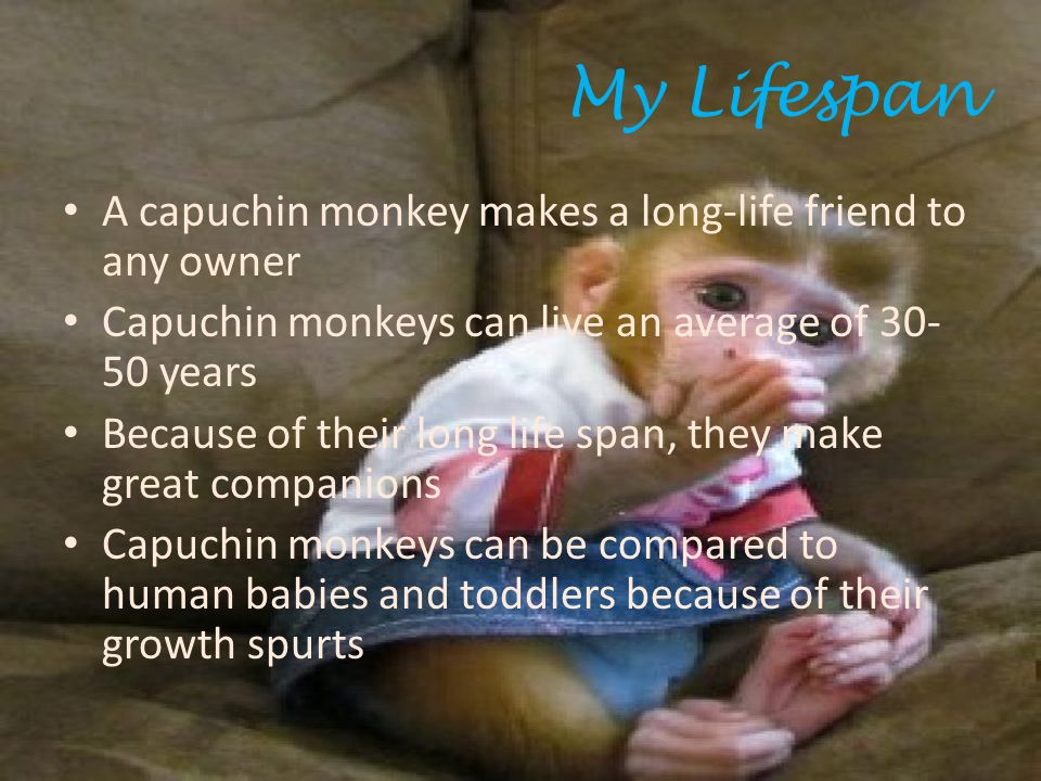 My Lifespan A capuchin monkey makes a long-life friend to any owner Capuchin monkeys can live an average of 30- 50 years Because of their long life span, they make great companions Capuchin monkeys can be compared to human babies and toddlers because of their growth spurts