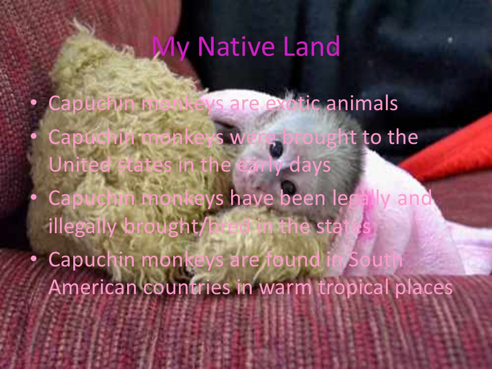 My Native Land Capuchin monkeys are exotic animals Capuchin monkeys were brought to the United states in the early days Capuchin monkeys have been legally and illegally brought/bred in the states Capuchin monkeys are found in South American countries in warm tropical places