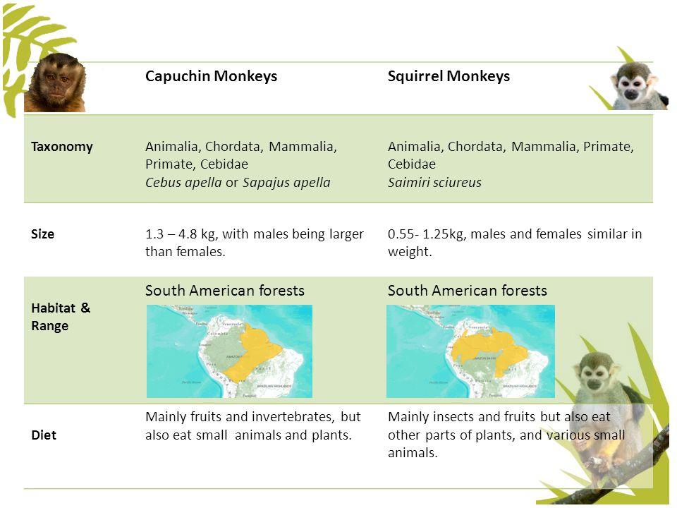 Capuchin MonkeysSquirrel Monkeys TaxonomyAnimalia, Chordata, Mammalia, Primate, Cebidae Cebus apella or Sapajus apella Animalia, Chordata, Mammalia, P