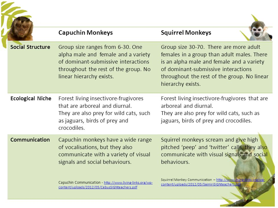 Capuchin MonkeysSquirrel Monkeys Social StructureGroup size ranges from 6-30. One alpha male and female and a variety of dominant-submissive interacti