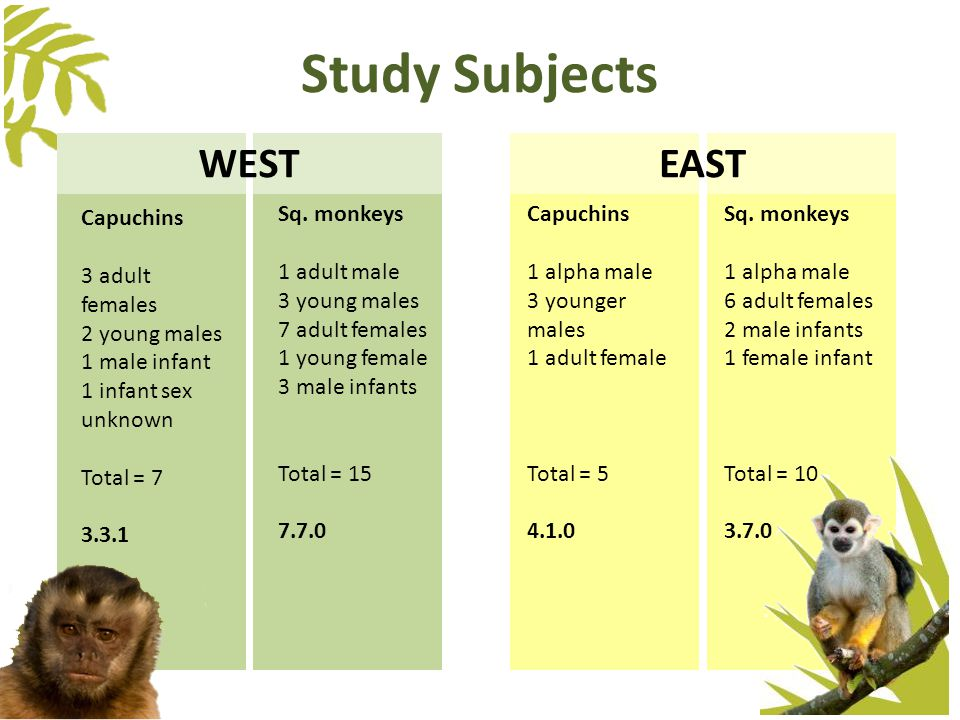 Study Subjects WESTEAST Capuchins 3 adult females 2 young males 1 male infant 1 infant sex unknown Total = 7 3.3.1 Capuchins 1 alpha male 3 younger males 1 adult female Total = 5 4.1.0 Sq.