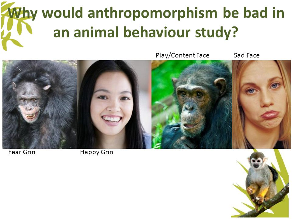 Why would anthropomorphism be bad in an animal behaviour study.