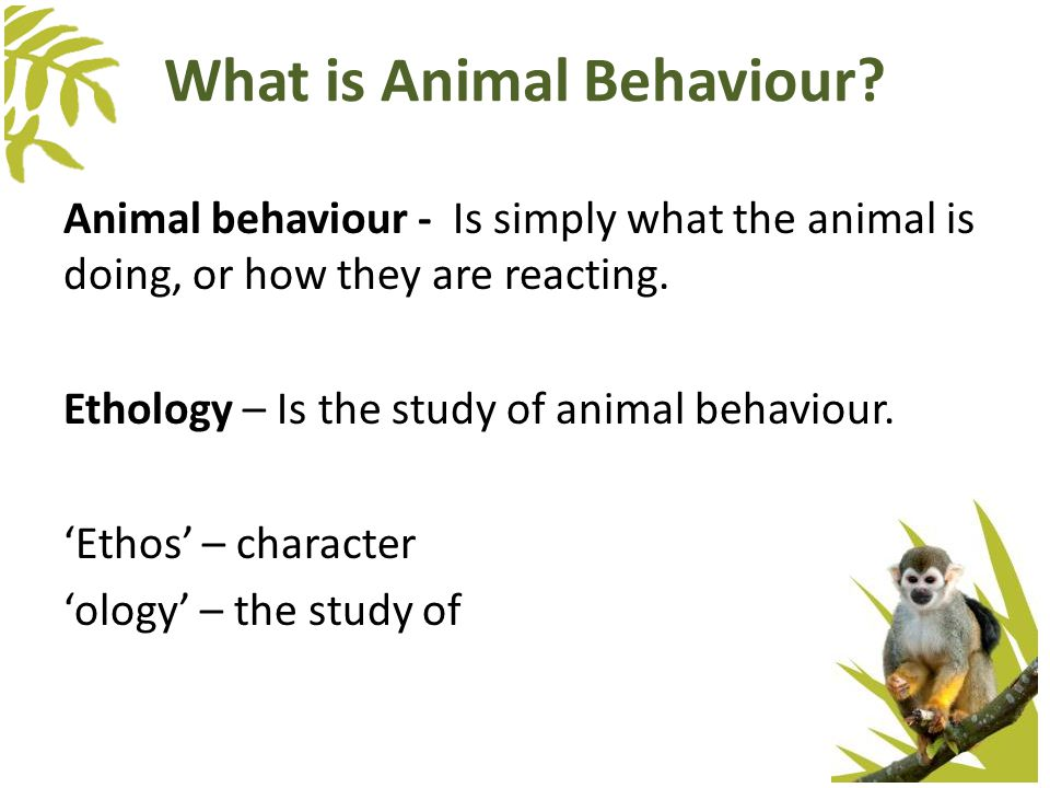 What is Animal Behaviour? Animal behaviour - Is simply what the animal is doing, or how they are reacting. Ethology – Is the study of animal behaviour