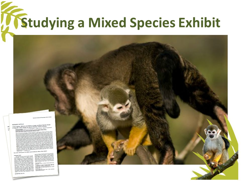 Capuchin MonkeysSquirrel Monkeys TaxonomyAnimalia, Chordata, Mammalia, Primate, Cebidae Cebus apella or Sapajus apella Animalia, Chordata, Mammalia, Primate, Cebidae Saimiri sciureus Size1.3 – 4.8 kg, with males being larger than females.