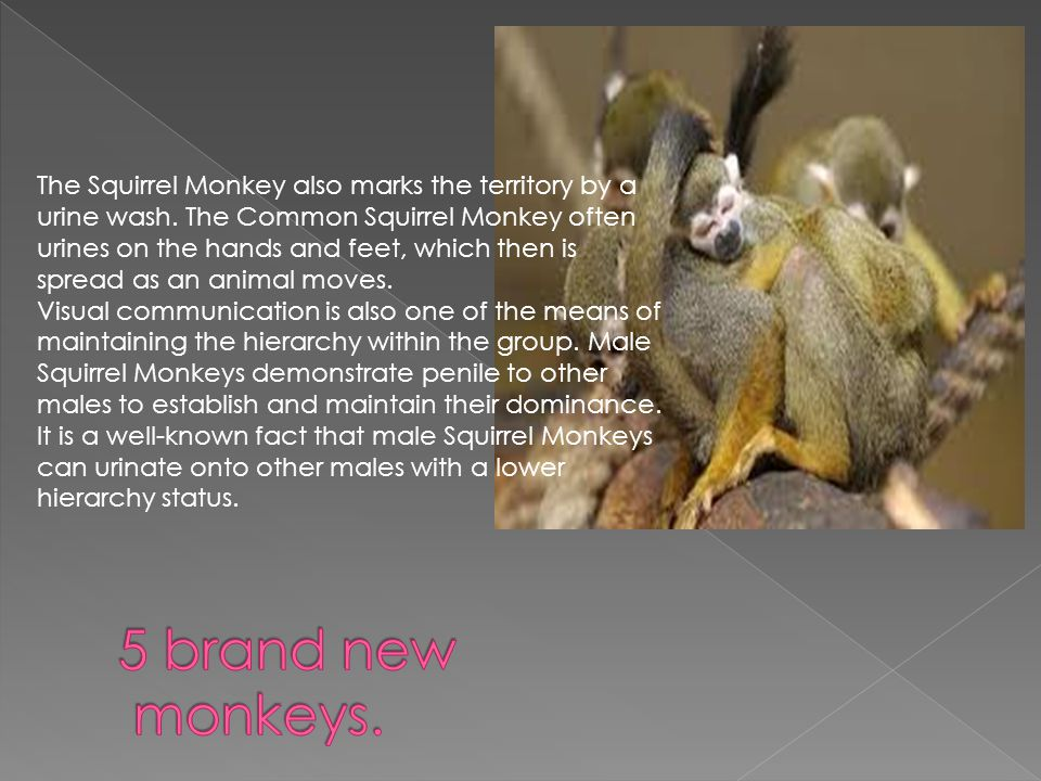 The Squirrel Monkey also marks the territory by a urine wash.