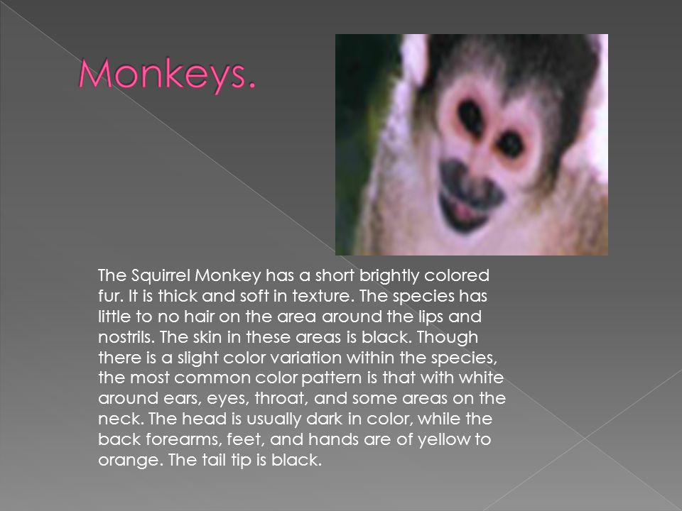 The Squirrel Monkey has a short brightly colored fur.