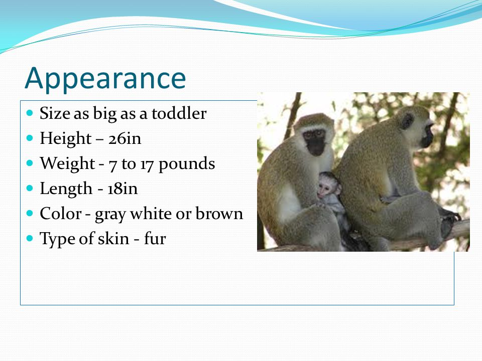 Appearance Size as big as a toddler Height – 26in Weight - 7 to 17 pounds Length - 18in Color - gray white or brown Type of skin - fur