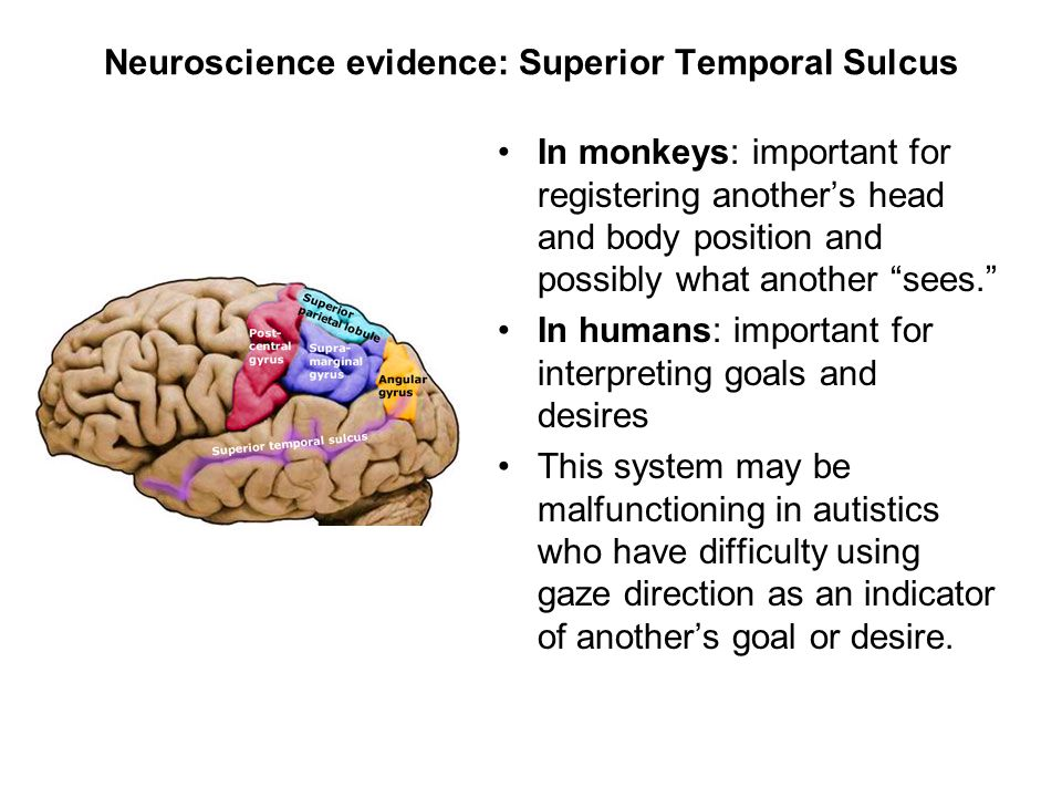 "Neuroscience evidence: Superior Temporal Sulcus In monkeys: important for registering another's head and body position and possibly what another ""sees"