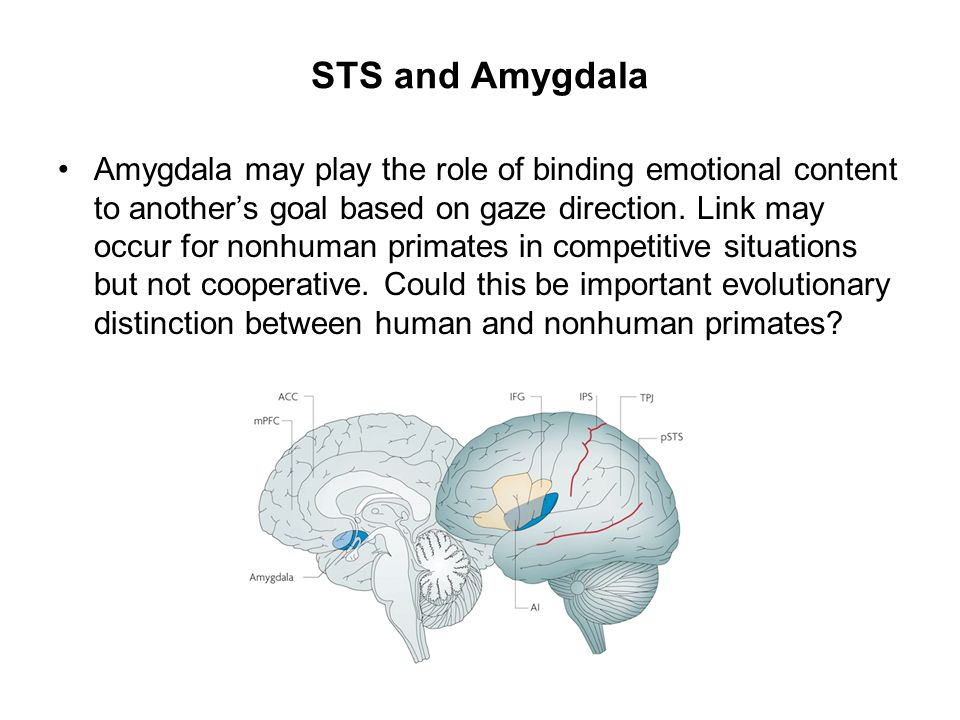 STS and Amygdala Amygdala may play the role of binding emotional content to another's goal based on gaze direction. Link may occur for nonhuman primat