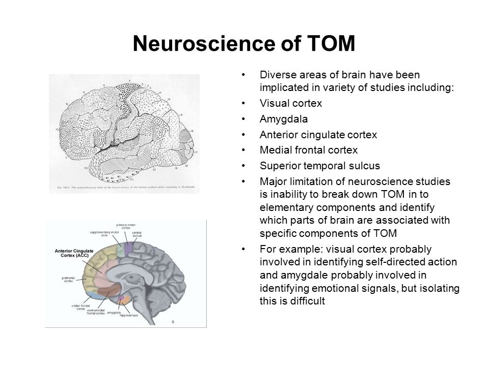Neuroscience of TOM Diverse areas of brain have been implicated in variety of studies including: Visual cortex Amygdala Anterior cingulate cortex Medi