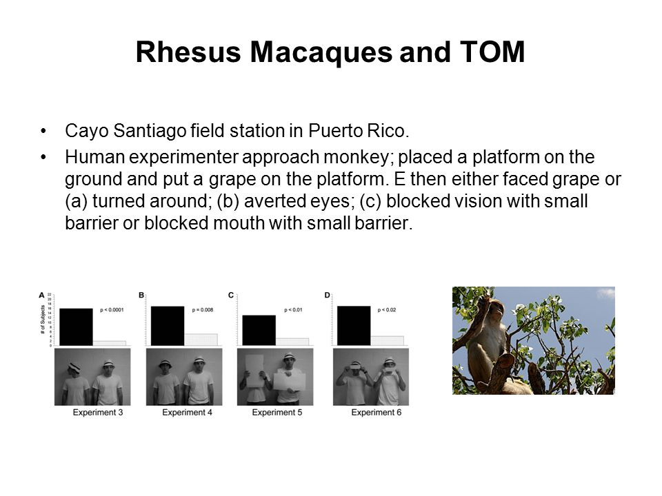 Rhesus Macaques and TOM Cayo Santiago field station in Puerto Rico. Human experimenter approach monkey; placed a platform on the ground and put a grap