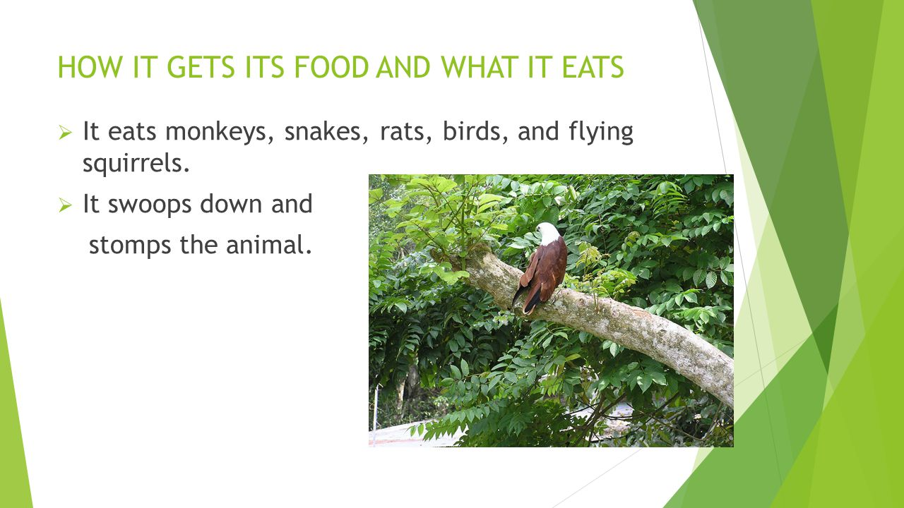 FACTS  It eats monkeys. It is considered the largest eagle in the world.
