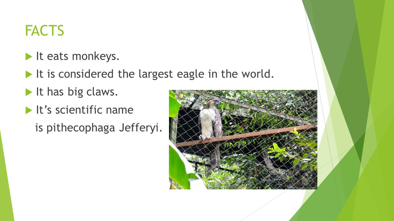 FACTS  It eats monkeys.  It is considered the largest eagle in the world.