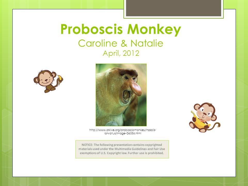 Proboscis Monkey Caroline & Natalie April, 2012 http://www.arkive.org/proboscis-monkey/nasalis- larvatus/image-G6356.html