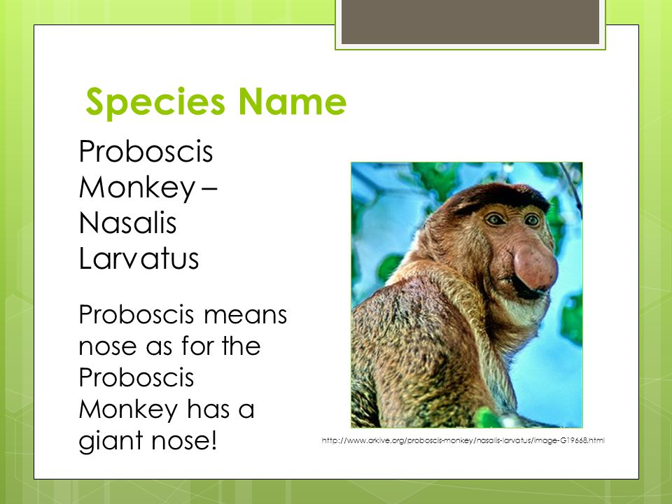Species Name Proboscis Monkey – Nasalis Larvatus Proboscis means nose as for the Proboscis Monkey has a giant nose.