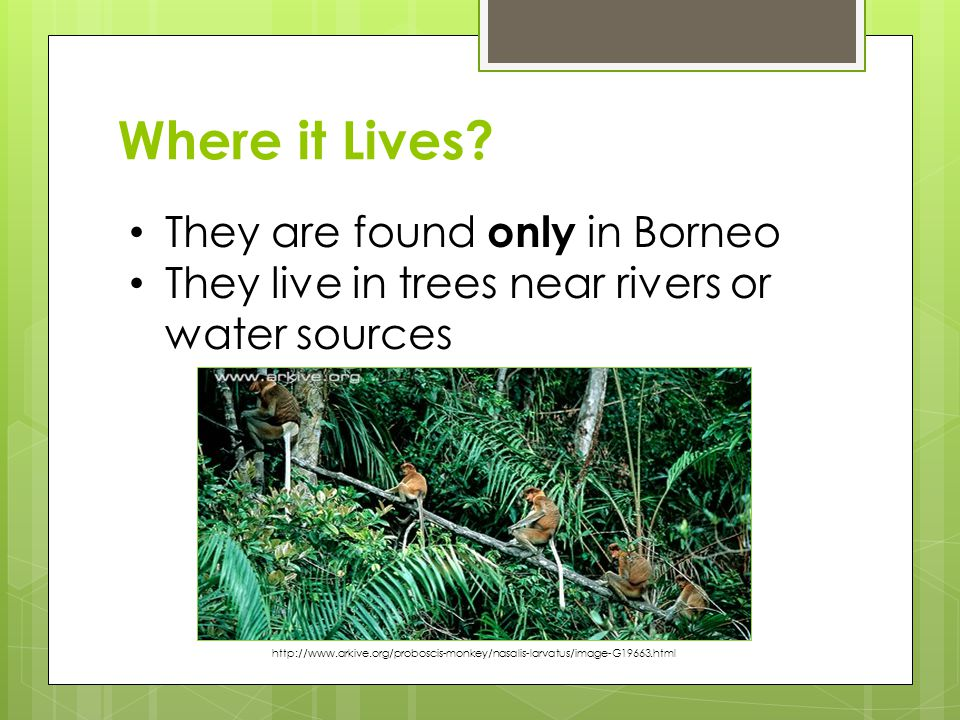 Where it Lives? They are found only in Borneo They live in trees near rivers or water sources http://www.arkive.org/proboscis-monkey/nasalis-larvatus/