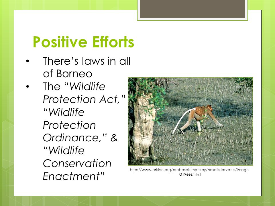Positive Efforts There's laws in all of Borneo The Wildlife Protection Act, Wildlife Protection Ordinance, & Wildlife Conservation Enactment http://www.arkive.org/proboscis-monkey/nasalis-larvatus/image- G19666.html