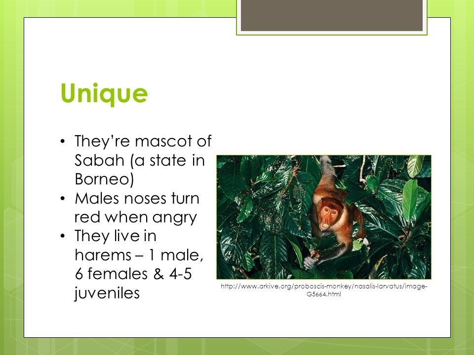 Unique They're mascot of Sabah (a state in Borneo) Males noses turn red when angry They live in harems – 1 male, 6 females & 4-5 juveniles http://www.arkive.org/proboscis-monkey/nasalis-larvatus/image- G5664.html