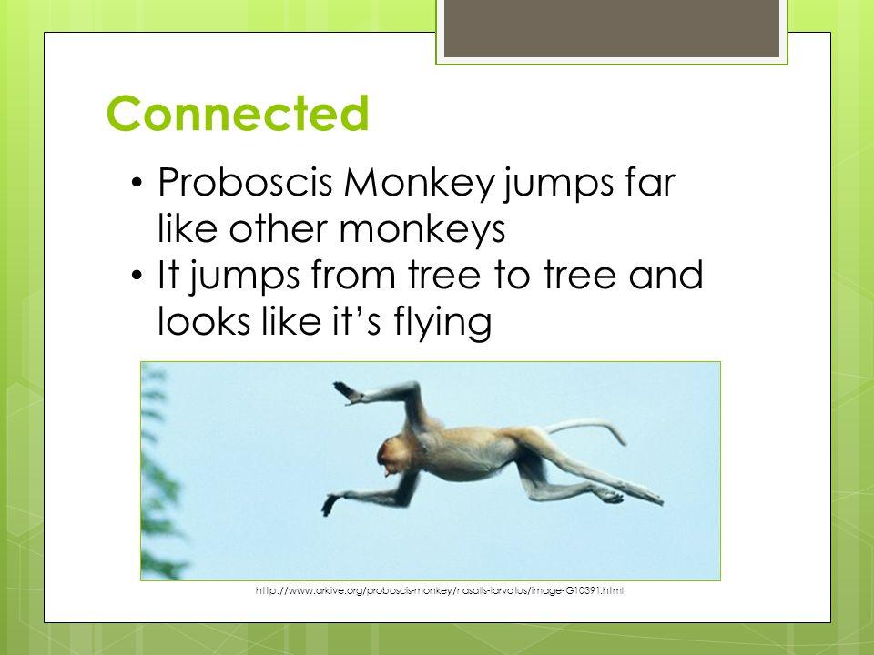 Connected Proboscis Monkey jumps far like other monkeys It jumps from tree to tree and looks like it's flying http://www.arkive.org/proboscis-monkey/n