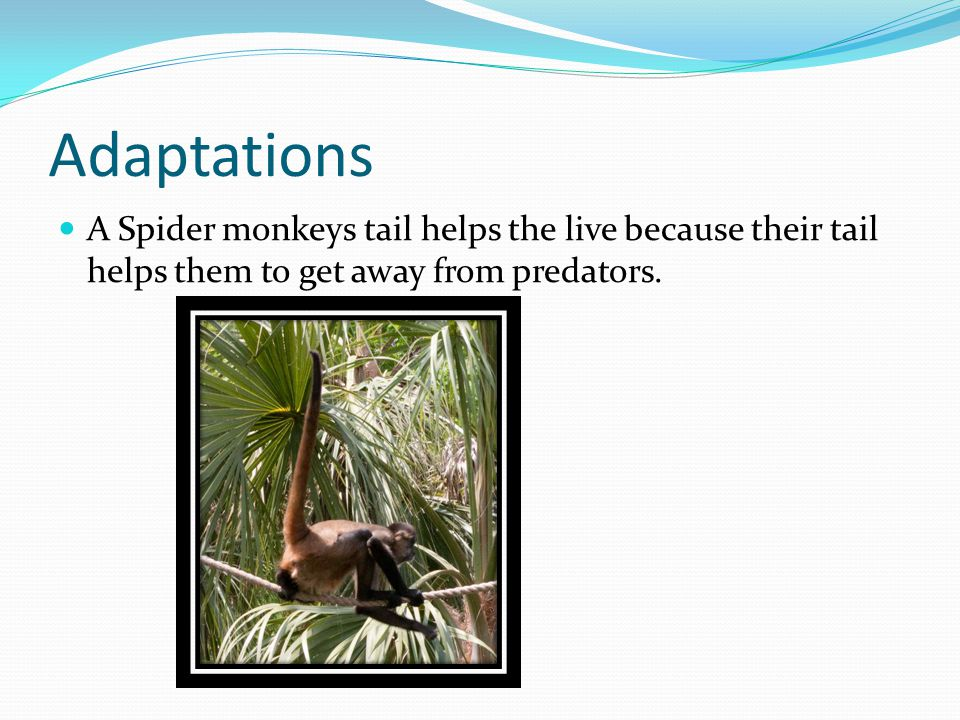 Adaptations A Spider monkeys tail helps the live because their tail helps them to get away from predators.
