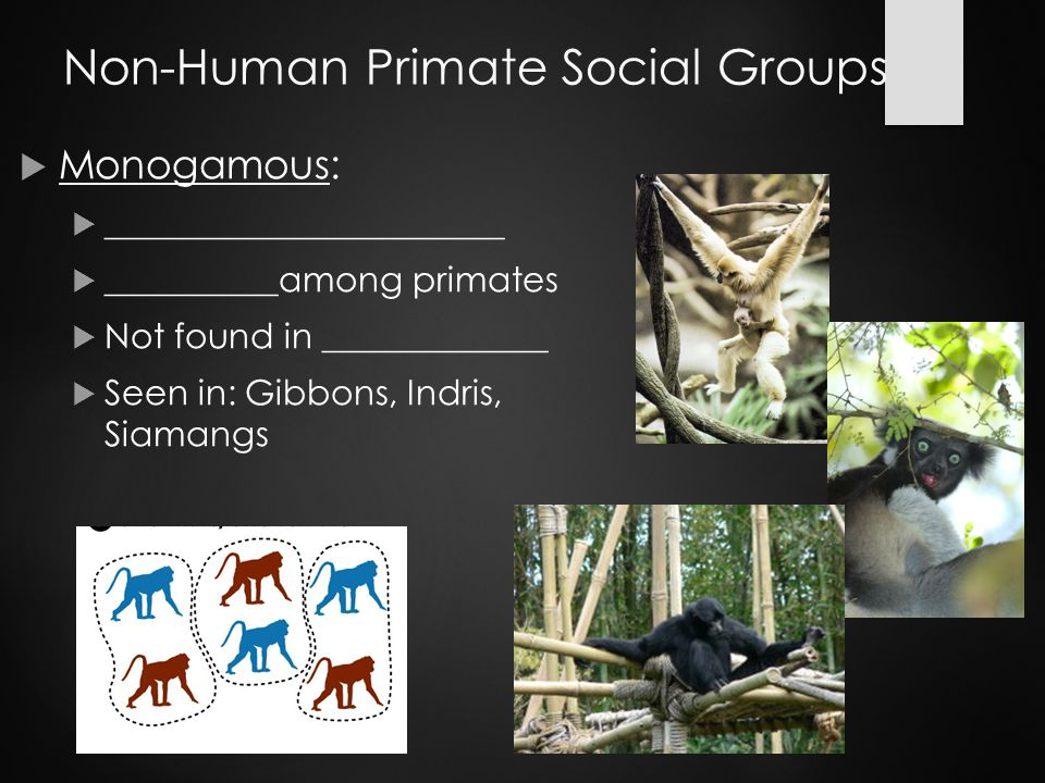 Non-Human Primate Social Groups  Monogamous:  _______________________  __________among primates  Not found in _____________  Seen in: Gibbons, Indris, Siamangs