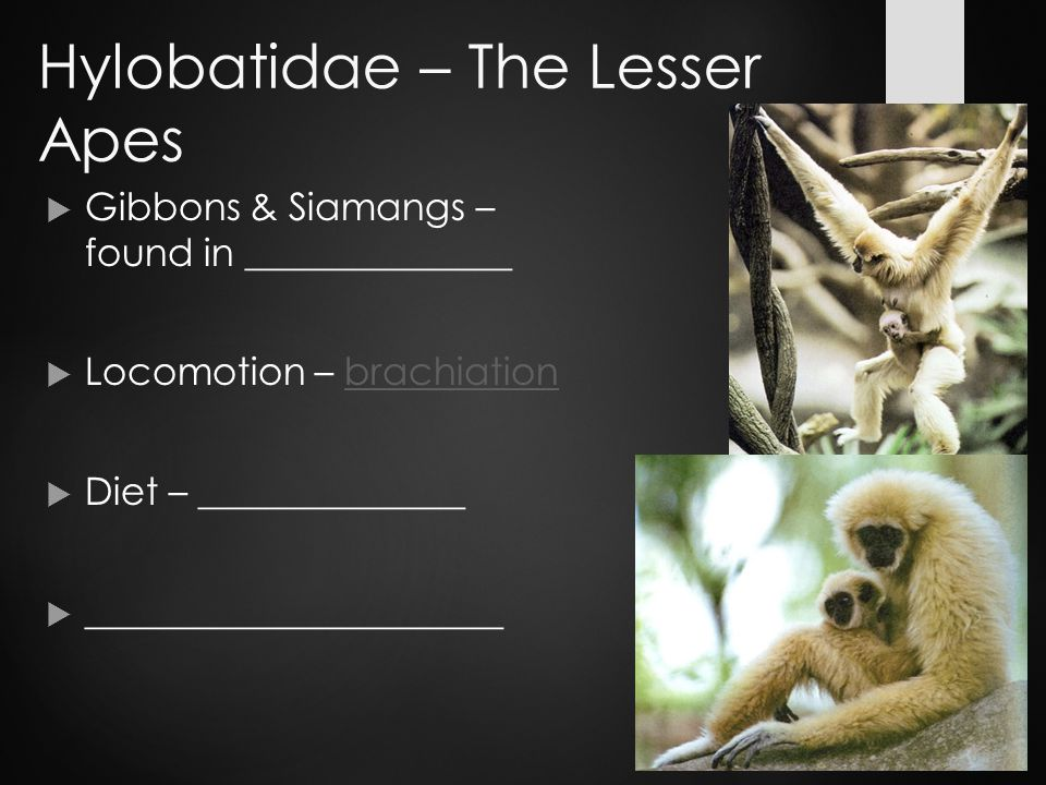 Hylobatidae – The Lesser Apes  Gibbons & Siamangs – found in ______________  Locomotion – brachiationbrachiation  Diet – ______________  ______________________
