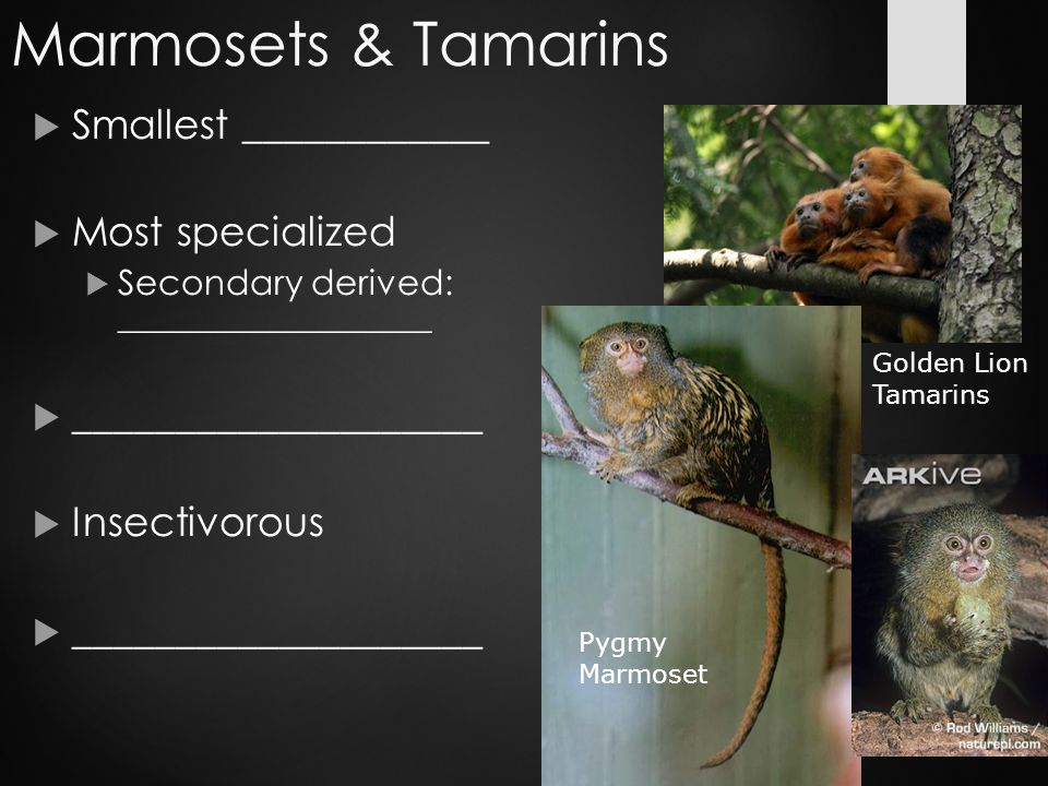 Marmosets & Tamarins  Smallest ____________  Most specialized  Secondary derived: __________________  ____________________  Insectivorous  ____________________ Golden Lion Tamarins Pygmy Marmoset