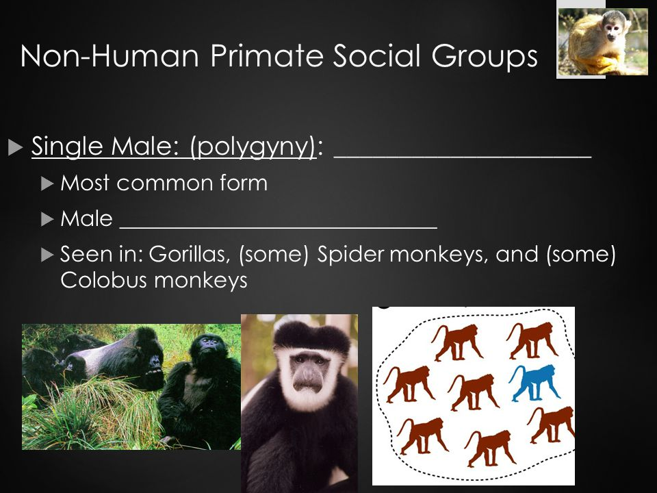 Non-Human Primate Social Groups  Single Male: (polygyny): ____________________  Most common form  Male _____________________________  Seen in: Gorillas, (some) Spider monkeys, and (some) Colobus monkeys