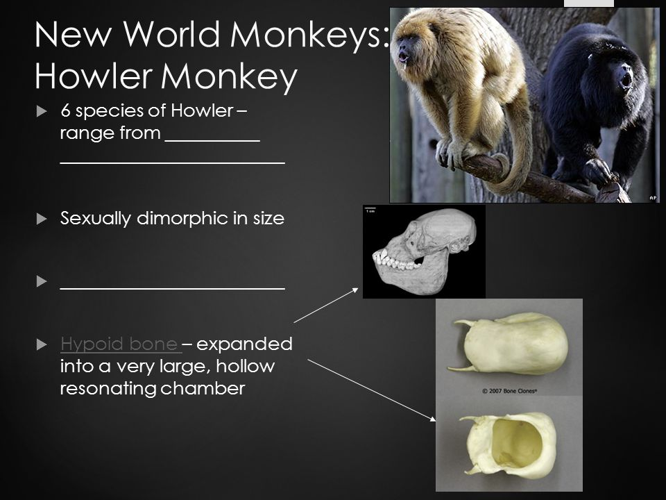 New World Monkeys: Howler Monkey  6 species of Howler – range from __________ ________________________  Sexually dimorphic in size  ________________________  Hypoid bone – expanded into a very large, hollow resonating chamber Hypoid bone