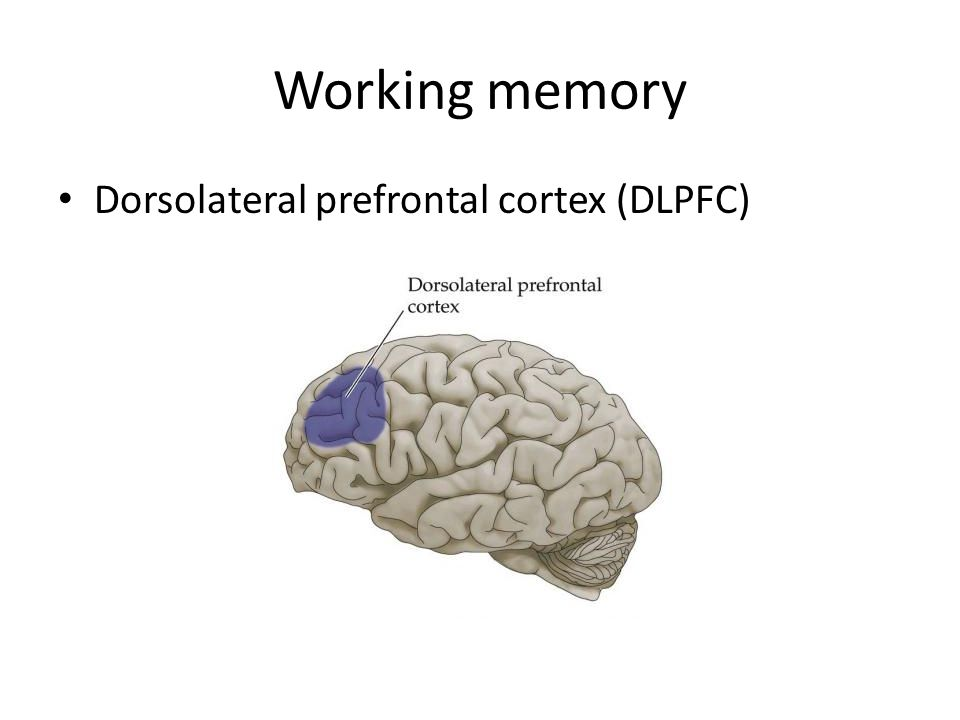 Left Parietal Cortex General role in memory retrieval, regardless of nature of content or of modality More activation during retrieval of old information than of new information Correct recall is associated with parietal cortex activity independent of the nature of the remembered material, suggesting that this activity reflects retrieval success
