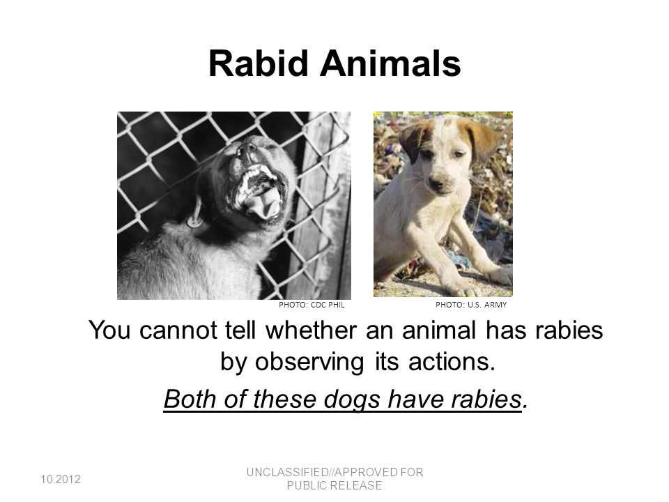 Rabies Disease Caused by RNA viruses in the family Rhabdoviridae, genus Lyssavirus Virus is transmitted through contact with the saliva of infected, or rabid mammals, such as dogs, cats, bats, skunks, raccoons, foxes, mongooses and jackals –Mice, rats and other small rodents are almost never found to be infected with rabies.