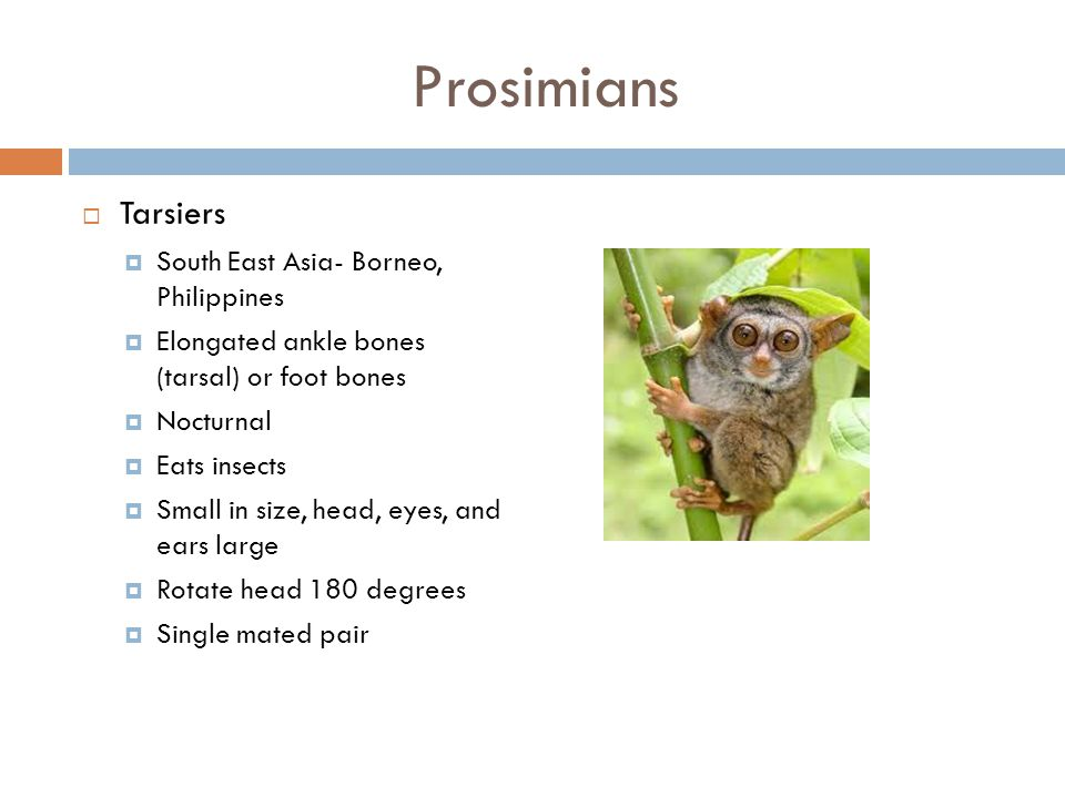 Prosimians  Lemurs  Only found in Madagascar  Diurnal  Feed on leaves and fruit  Live in structured groups  Saifaka, ringtailed, Indrii, mouse/d