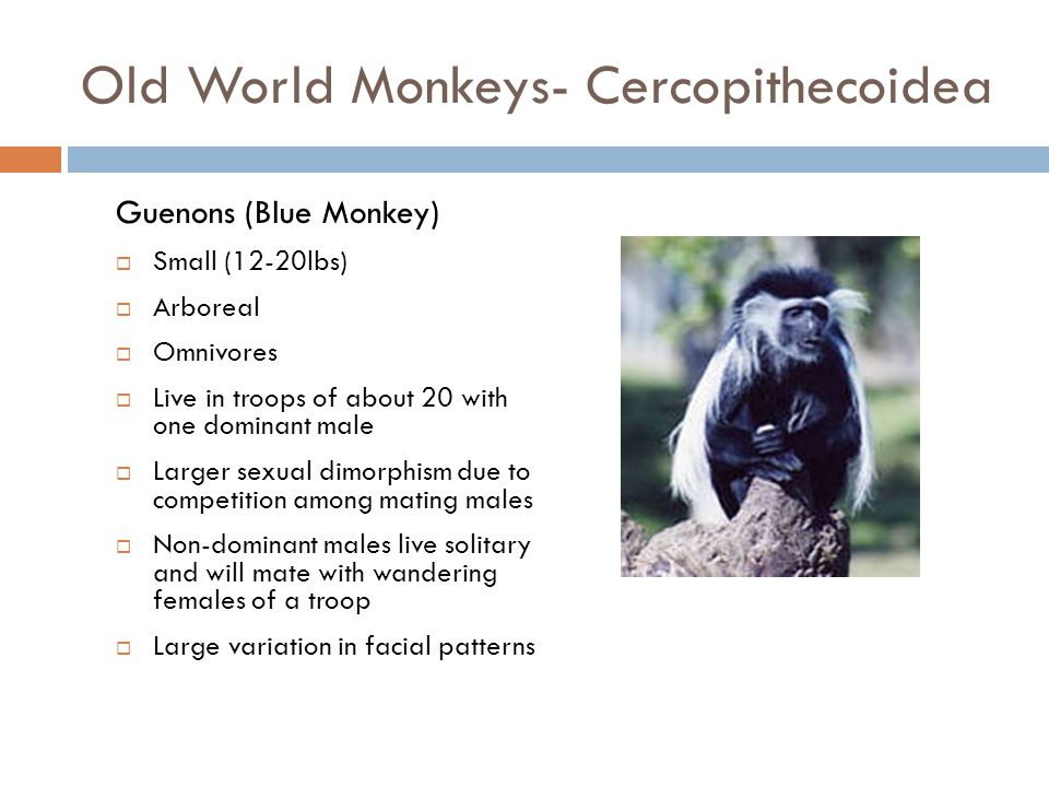 Old World Monkeys- Cercopithecoidea  Largest group of primates  African in origin  Narrower noses with thinner nasal septum and downward facing nos