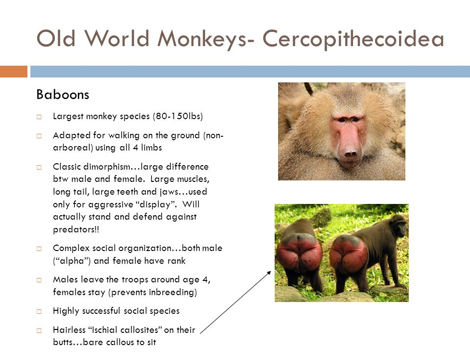 Old World Monkeys- Cercopithecoidea Guenons (Blue Monkey)  Small (12-20lbs)  Arboreal  Omnivores  Live in troops of about 20 with one dominant mal