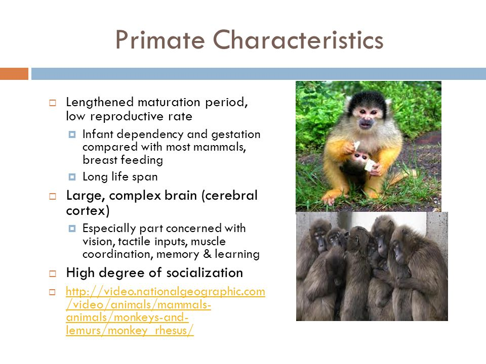 Primate Characteristics  Retention of the clavicle  Upright posture: bipedalism  Stereoscopic vision (3D vision)  Eyes that look forward with overlapping visual fields- evolution of retina for color vision  Enclosure of eyes in a bony ring or socket  Reduction of olfactory apparatus, especially snout, reduces sense of smell