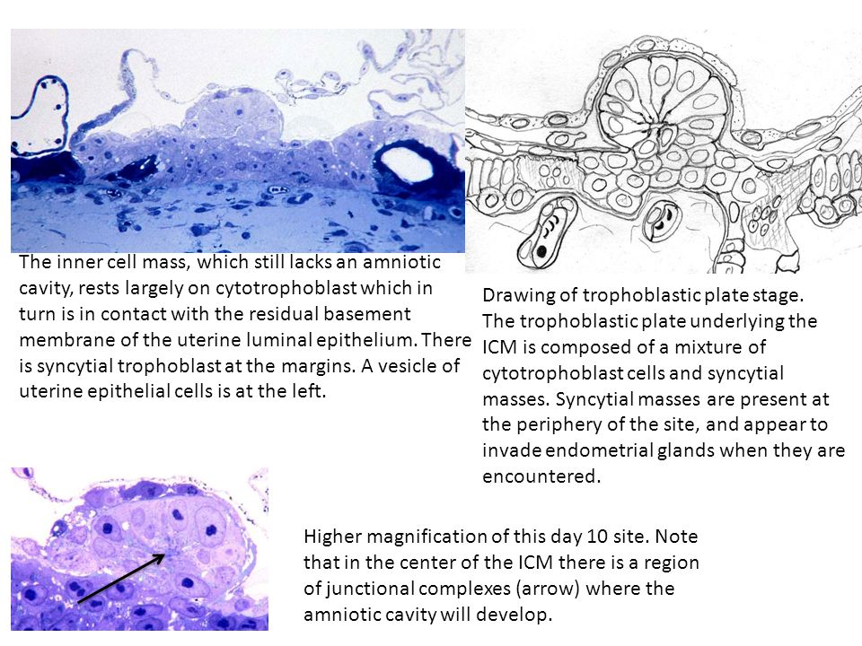 The inner cell mass, which still lacks an amniotic cavity, rests largely on cytotrophoblast which in turn is in contact with the residual basement membrane of the uterine luminal epithelium.