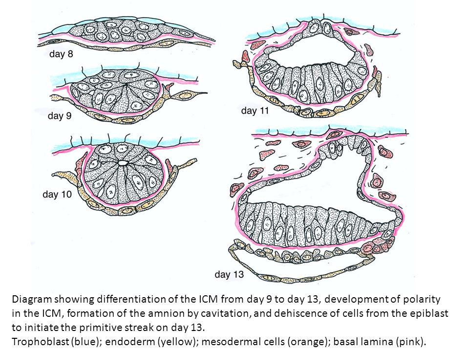 Diagram showing differentiation of the ICM from day 9 to day 13, development of polarity in the ICM, formation of the amnion by cavitation, and dehiscence of cells from the epiblast to initiate the primitive streak on day 13.