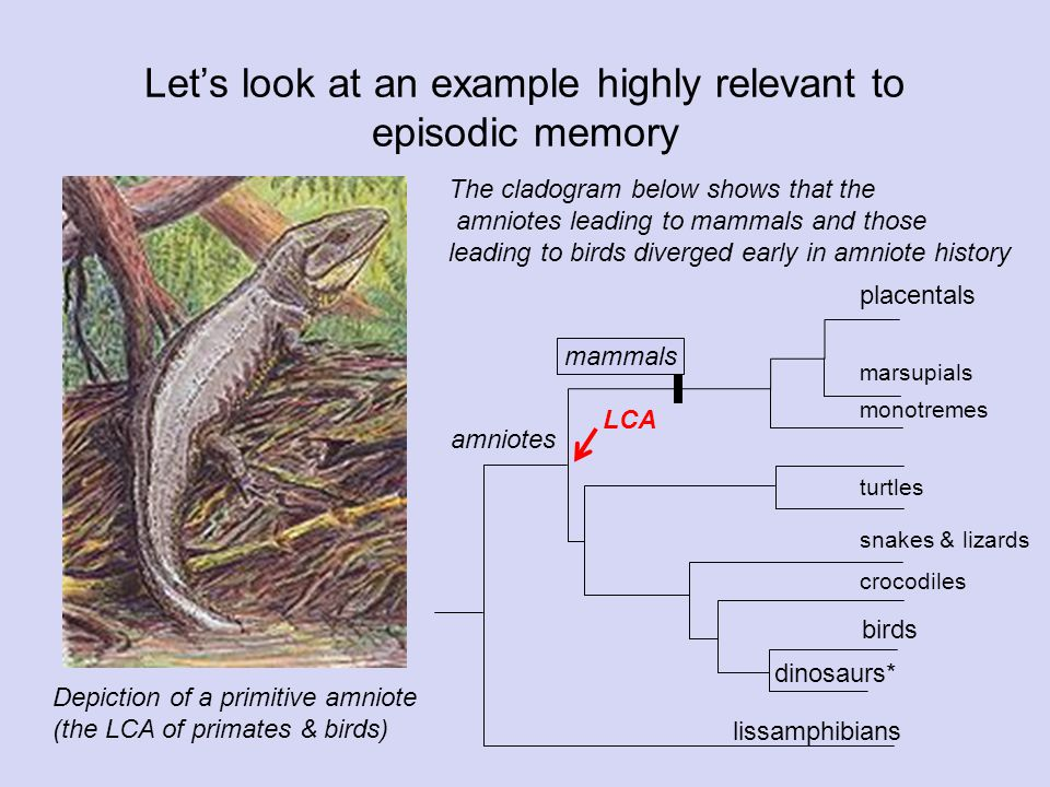 Let's look at an example highly relevant to episodic memory amniotes dinosaurs* birds crocodiles snakes & lizards turtles monotremes marsupials placentals lissamphibians mammals Depiction of a primitive amniote (the LCA of primates & birds) The cladogram below shows that the amniotes leading to mammals and those leading to birds diverged early in amniote history LCA
