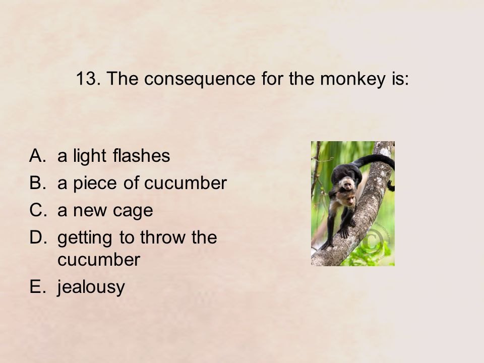 13. The consequence for the monkey is: A.a light flashes B.a piece of cucumber C.a new cage D.getting to throw the cucumber E.jealousy
