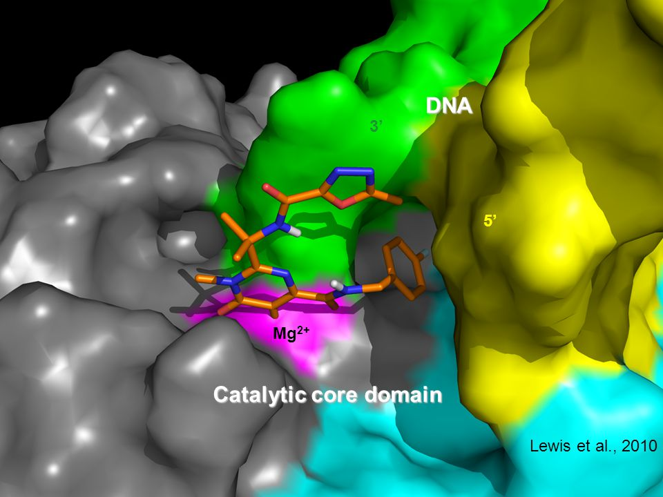 3' 5' Mg 2+ DNA Catalytic core domain Lewis et al., 2010