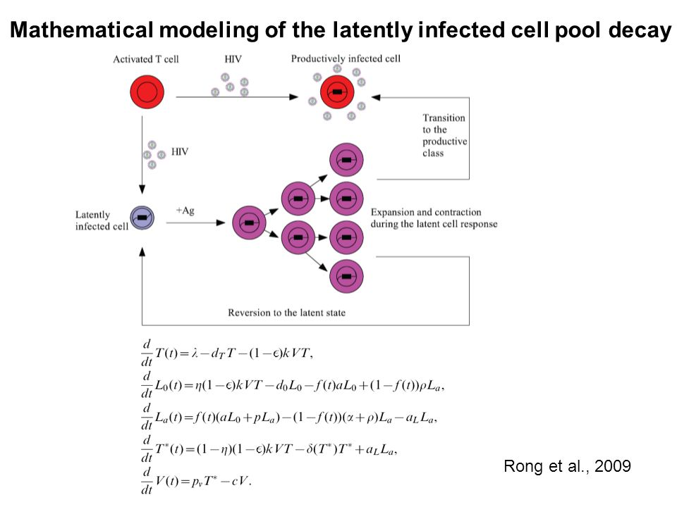 Mathematical modeling of the latently infected cell pool decay Rong et al., 2009