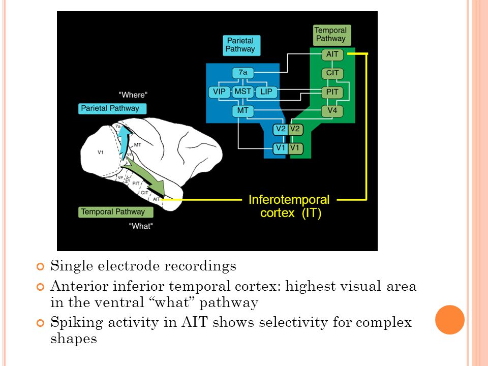 Single electrode recordings Anterior inferior temporal cortex: highest visual area in the ventral what pathway Spiking activity in AIT shows selectivity for complex shapes
