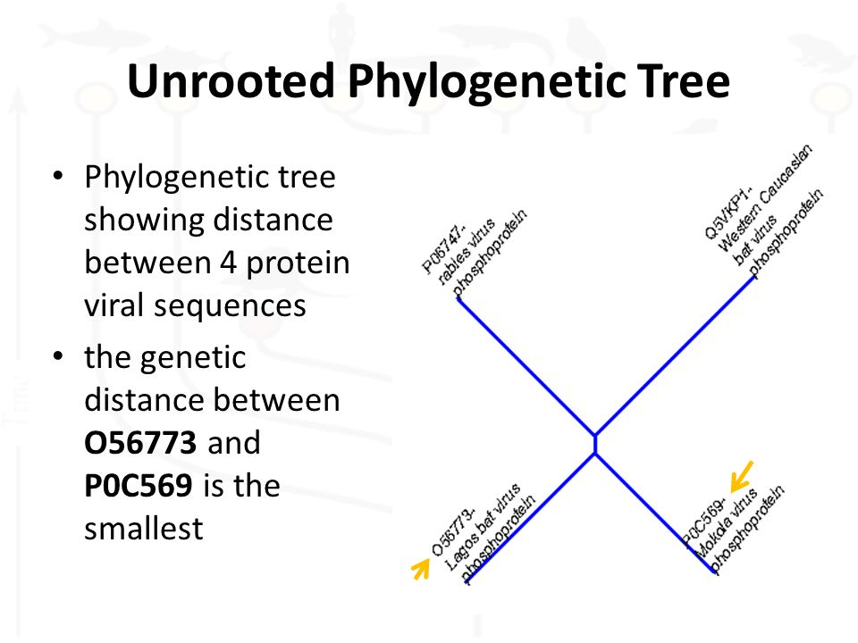 Unrooted Phylogenetic Tree Phylogenetic tree showing distance between 4 protein viral sequences the genetic distance between O56773 and P0C569 is the smallest