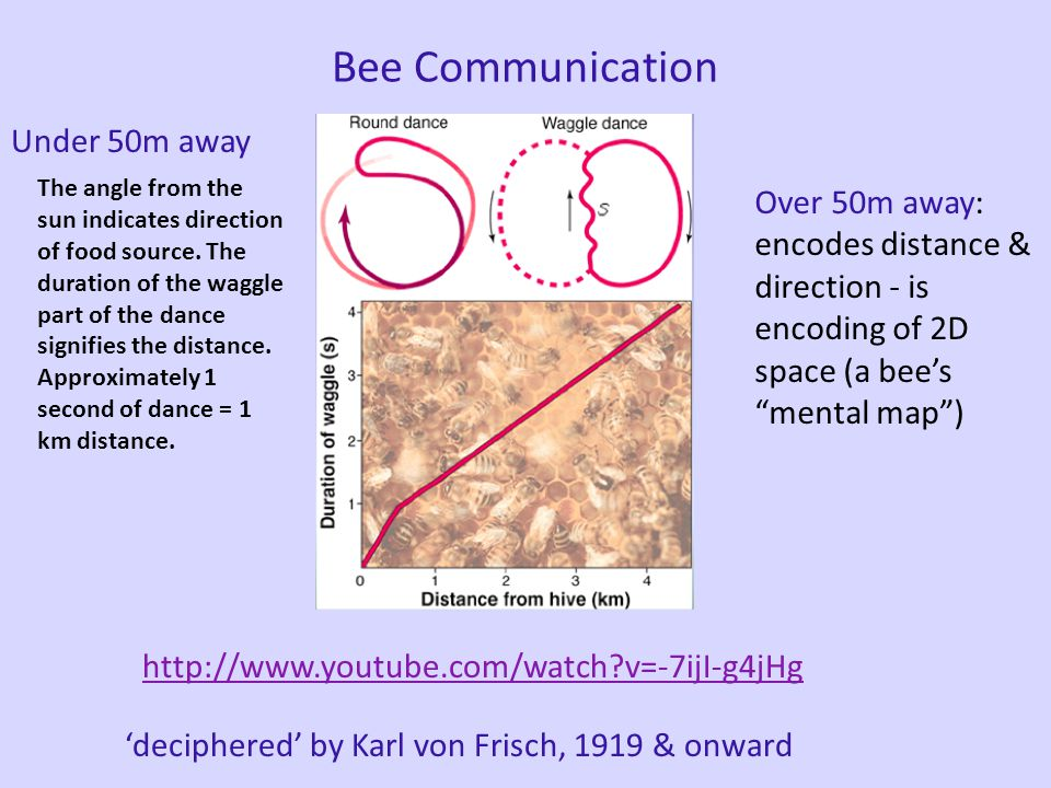 Bee Communication Honey Bees Dance to communicate the location of food (nectar) Can indicate: nearby vs. far, direction, richness of the food source (