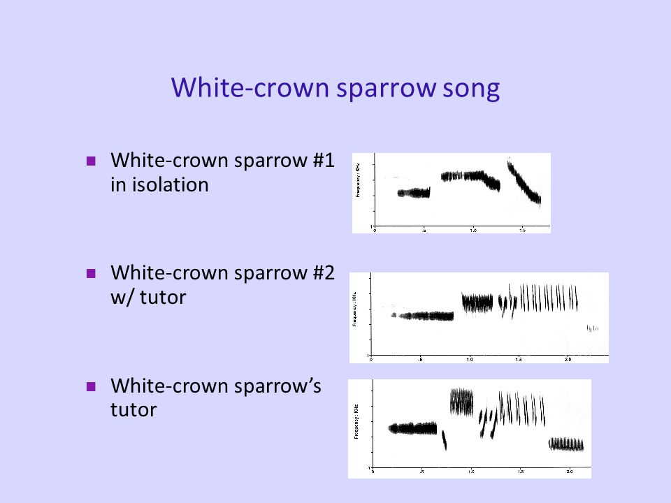 Birdsong Songs are learned –Regional dialects Learning, however, is innately guided (Marler, 1990) –Many species of sparrows prefer to learn the songs