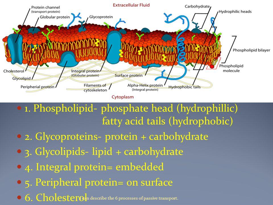 1. Phospholipid- phosphate head (hydrophillic) fatty acid tails (hydrophobic) 2.