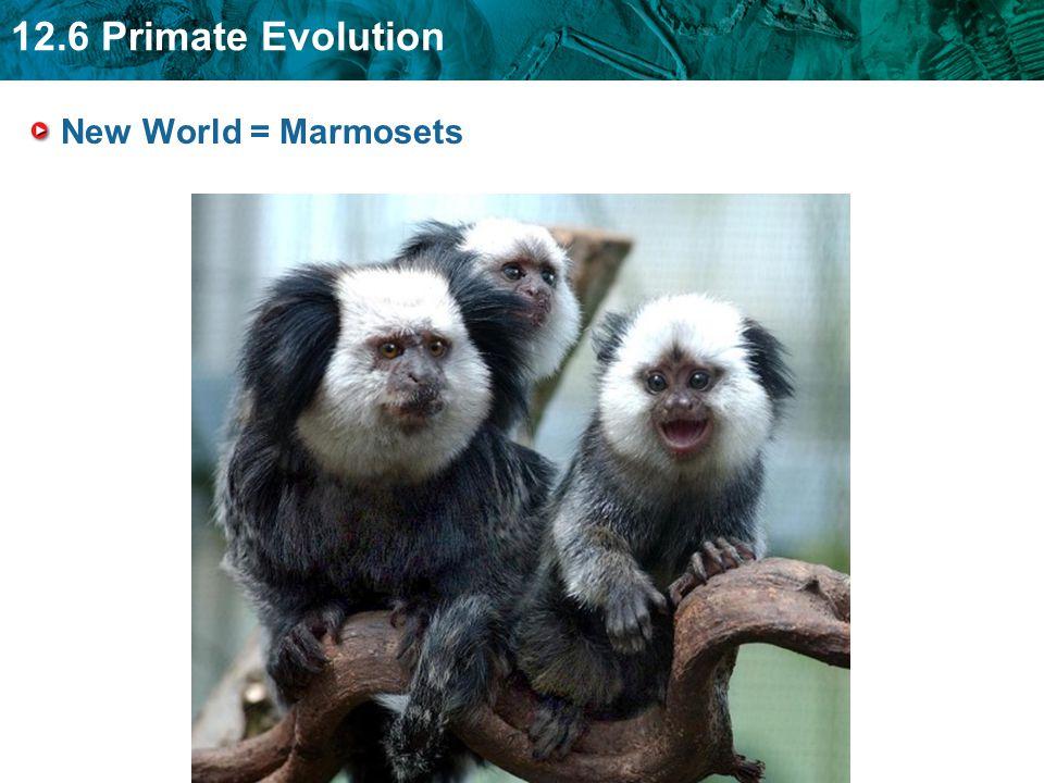 12.6 Primate Evolution New World = Marmosets