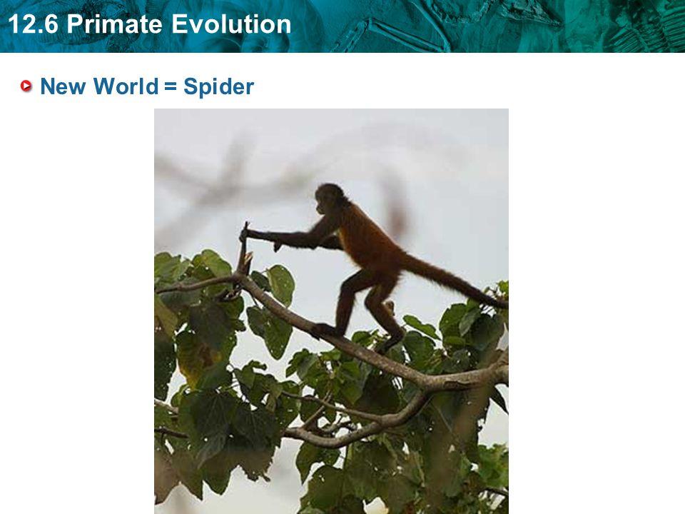 12.6 Primate Evolution New World = Spider
